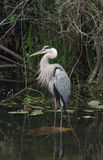 Great Blue Heron Fishing. A great blue heron wading in the everglades Royalty Free Stock Photos
