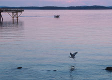 Great Blue Heron flies near  the shore at the sunset time Royalty Free Stock Photos