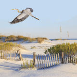Great Blue Heron Flies Over A White Sand Beach Stock Image