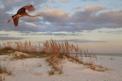 Great Blue Heron Flies Over the Beach at Sunrise Stock Photography