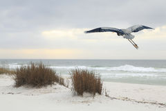 Great Blue Heron Flies Over a Florida Beach at Dusk Stock Photo