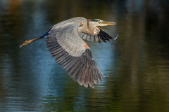 Great blue heron flies over pond Royalty Free Stock Images