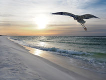 Great Blue Heron Flies Over White Sand Beach at Sunrise Royalty Free Stock Photos