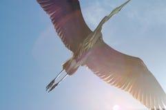 Great Blue Heron flies overhead royalty free stock image