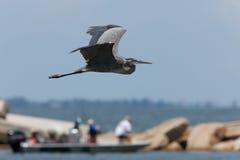 Great Blue Heron in flight. Along Florida coast Stock Images