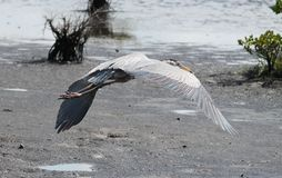 Great blue heron in flight. Great Blue Heron (Ardea herodias) in flight carrying a small fish Stock Photo