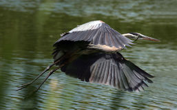 Great blue heron in flight Stock Photos