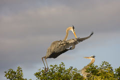 Great Blue Heron in  flight. A male Great Blue Heron flies into the nest with nesting material for his lady Stock Photos