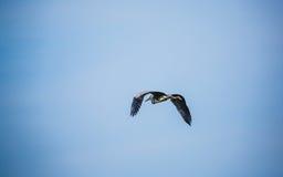 Great Blue Heron royalty free stock photo