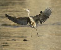 Great Blue Heron bird Stock Photography
