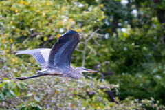 Great Blue Heron in Flight. A beautiful Great Blue Heron soars through the air effortlessly Royalty Free Stock Image