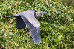 Great Blue Heron in Flight. A beautiful Great Blue Heron soars through the air effortlessly Stock Images