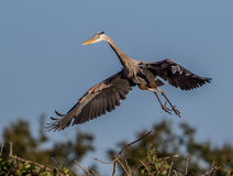 Great blue heron in flight Royalty Free Stock Image