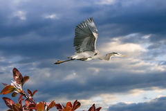 Great Blue Heron In Flight With Crab Apple Branch Stock Photos