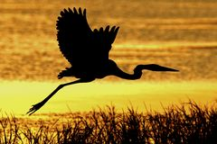 Great Blue Heron in flight, Florida royalty free stock images