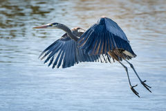 Great Blue Heron in Flight. Great Blue Heron flying above a clear blue lake stock image