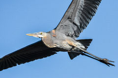 Great Blue Heron in Flight. Great blue heron with fully spread wings and well lit royalty free stock photo