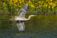 Great Blue Heron in Flight X. Great Blue Heron Flying Over Water stock photo