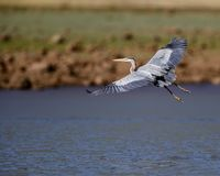 Great Blue Heron in flight. Great Blue Herons spend their time wading and flying, always looking for fish or crustaceans in the shallow water stock photo