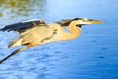 Great Blue Heron in Flight Royalty Free Stock Image