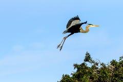 Great Blue Heron in Flight Stock Image