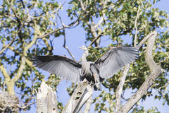 Great Blue Heron In Flight Isolated. Isolated Great blue heron in flight Stock Photography