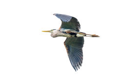 Great Blue Heron in Flight Stock Photography