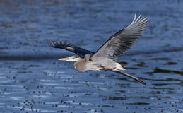Great Blue Heron in flight Royalty Free Stock Images
