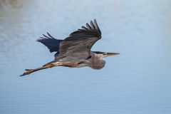 Great blue heron in flight over pond at Rookery Stock Photography