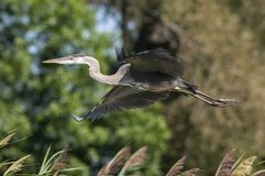 Great Blue Heron in flight over water stock photos