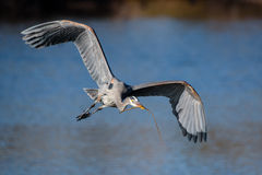 Great Blue Heron in Flight. Great Blue Heron in the process of building a nest Stock Photo