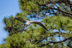 Great Blue Heron in Flight Stock Images