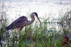 Great Blue Heron flishing Royalty Free Stock Photos