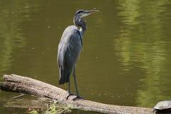 Great Blue Heron on floating log Stock Photos