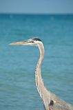 Great Blue Heron on a Florida Beach. A Great Blue Heron with blue sky and ocean in the background Stock Photo