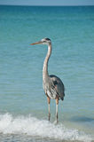 Great Blue Heron on a Florida Beach. A Great Blue Heron with blue sky and ocean in the background Royalty Free Stock Photo