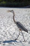 A Great Blue Heron on a Florida Beach Stock Images