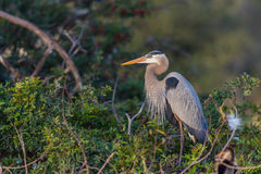 Great Blue heron in Florida Royalty Free Stock Photography