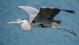 Great Blue Heron. A great blue heron in Florida stock images