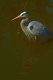 Great blue heron in Florida royalty free stock images