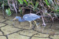 Great blue heron in the Florida swamp. Tricolor heron a.k.a. Egretta tricolor wading in florida swamp royalty free stock photos