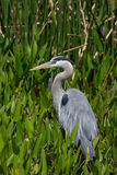 Great Blue Heron in Florida Wetland Royalty Free Stock Photo