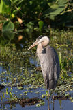 Great Blue Heron in Florida Wetland Stock Image