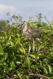 Great Blue Heron in Florida Wetland Stock Photos