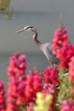 Great Blue Heron and Flowers Stock Photo