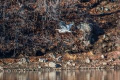 Great Blue Heron Flying. A great blue heron flying Royalty Free Stock Photography