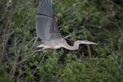Great Blue heron flying. With tropical bush background Stock Image