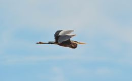 Great Blue Heron flying. With blue sky background Royalty Free Stock Photography