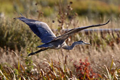 Great Blue Heron flying. Over Saskatchewan marsh Stock Photography