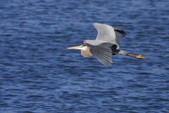 Great Blue Heron Flying Royalty Free Stock Photos